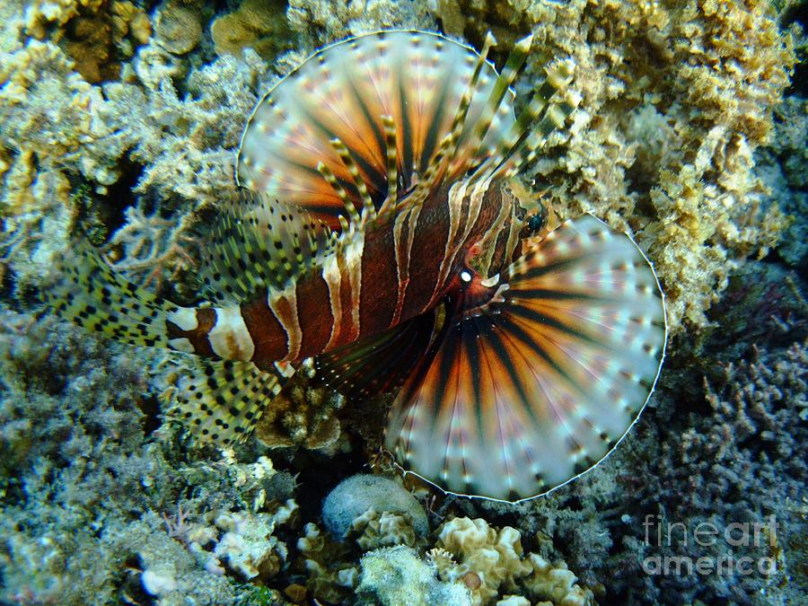 Ha'atafu Photograph - Lionfish At Haatafu by Crystal Beckmann