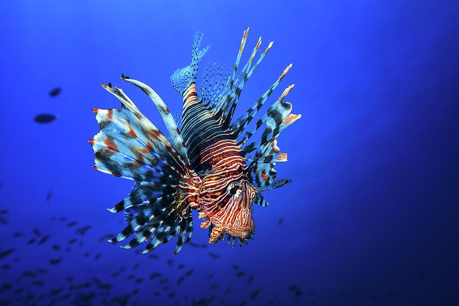 Lion Photograph - Lionfish by Barathieu Gabriel