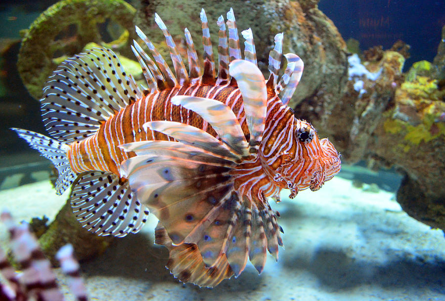 Lionfish Photograph - Lionfish by Sandi OReilly