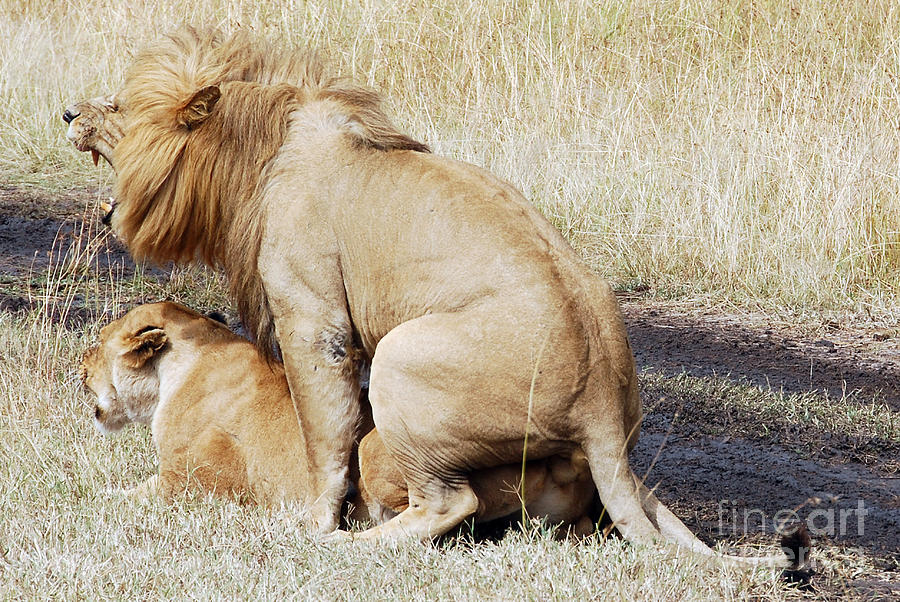 Lions Mating Digital Art by Pravine Chester