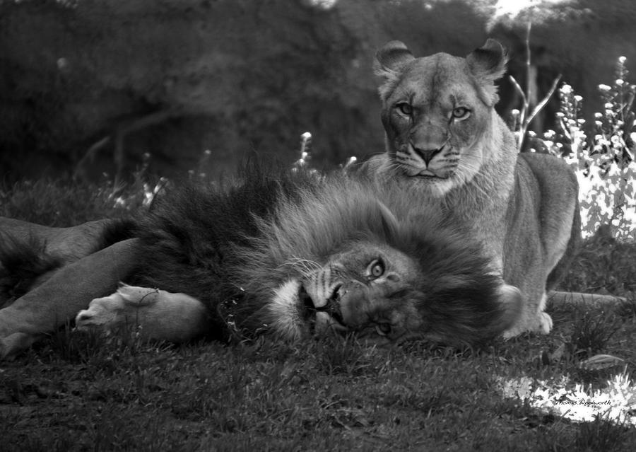 Animals Photograph - Lions Me And My Guy by Thomas Woolworth