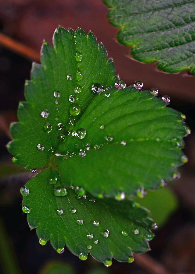 Liquid Pearls On Strawberry Leaves Photograph - Liquid Pearls On Strawberry Leaves by Lisa Phillips