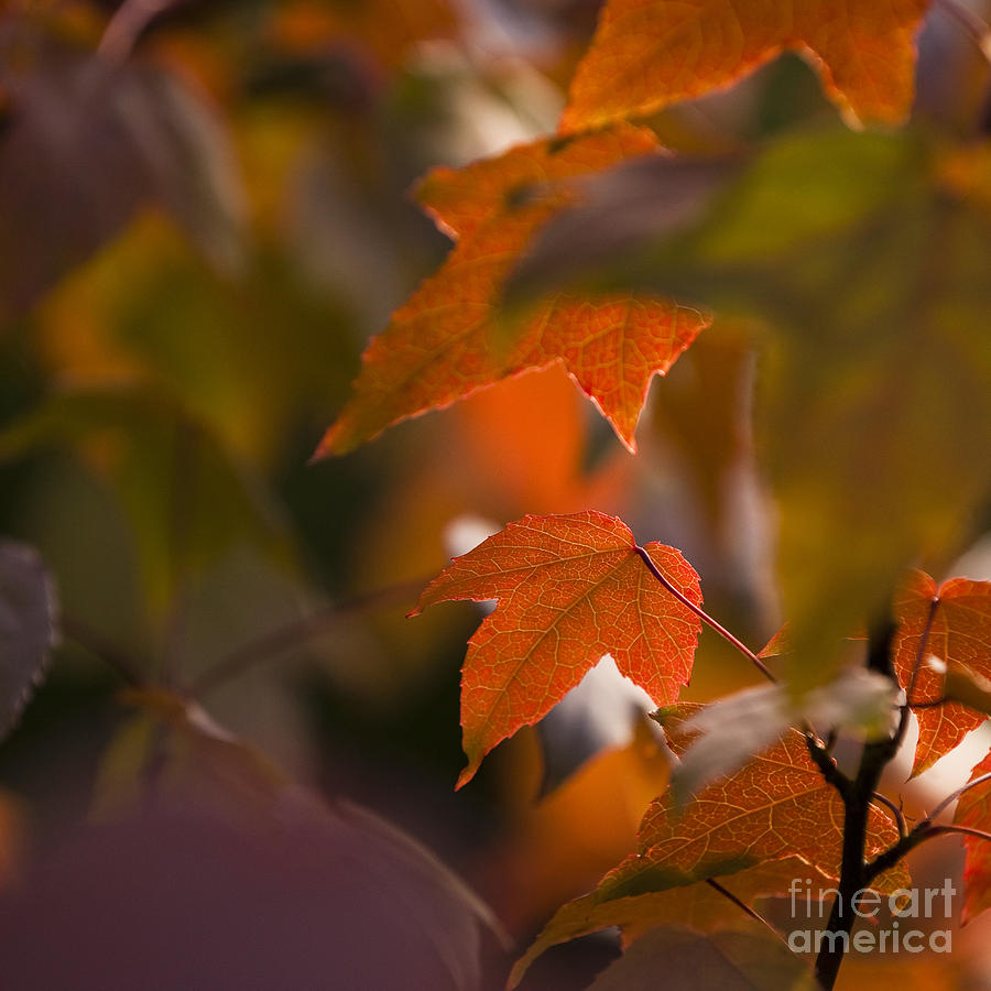 Arboreta Photograph - Liquidambar Autumn by Anne Gilbert