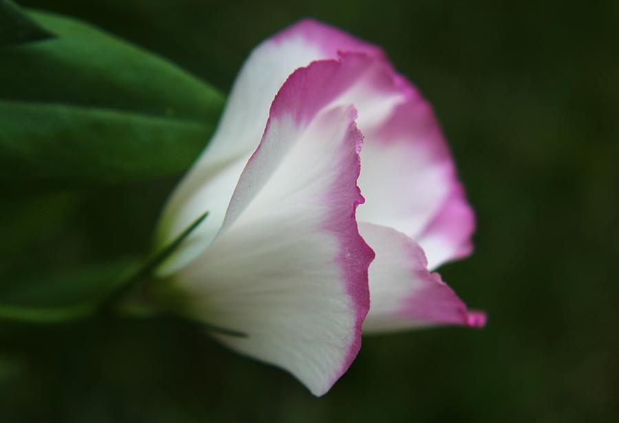Lisianthus flower photograph by carol welsh for Lisianthus art floral