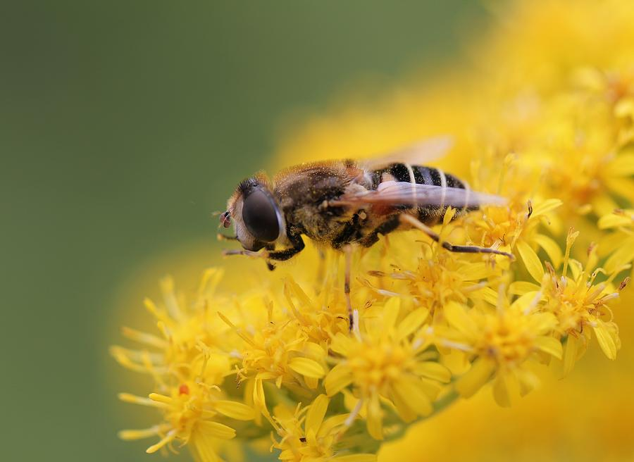 Macro Photography Photograph - Little Bee by Andy Van der motte