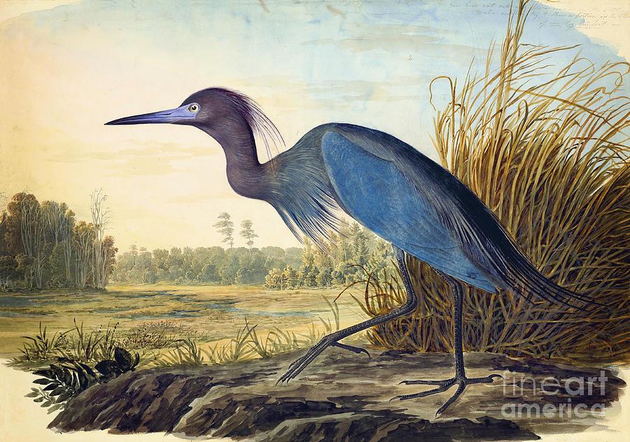 Audubon Watercolors Drawing - Little Blue Heron by Celestial Images
