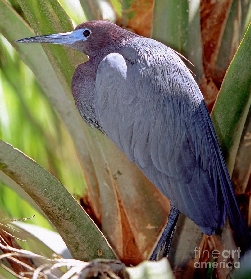 Fauna Photograph - Little Blue Heron Male In Breeding by Millard H. Sharp