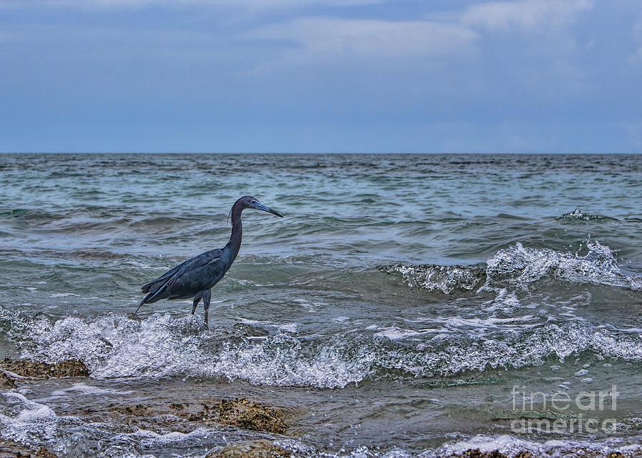 Little Blue Heron Photograph - Little Blue Heron by Olga Hamilton