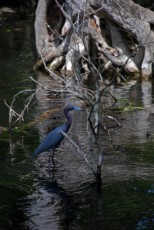 Heron Photograph - Little Blue Heron by Skip Willits