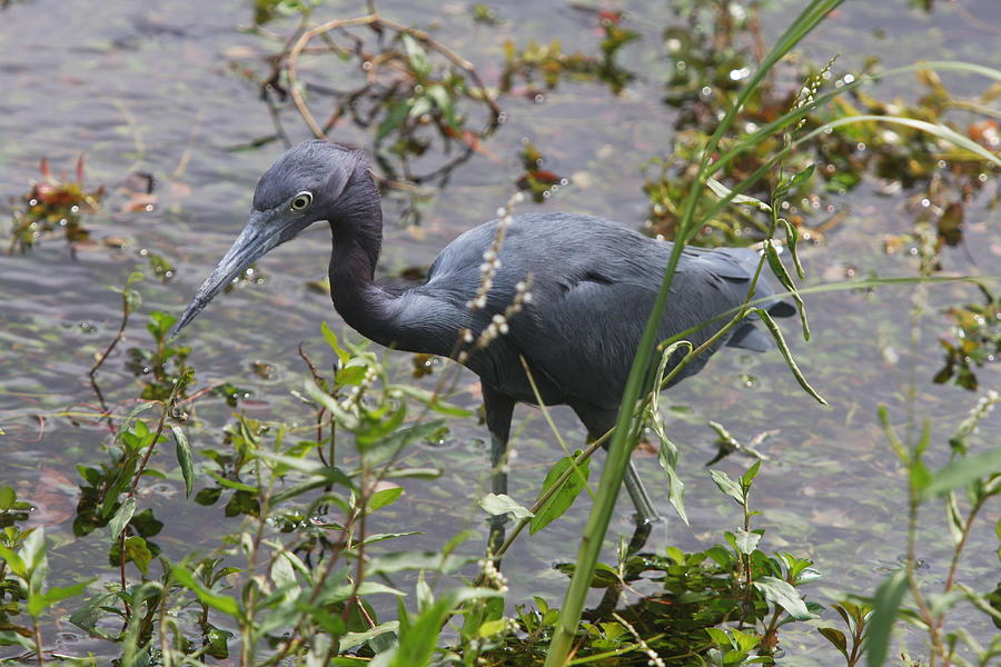 Heron Photograph - Little Blue Heron - Waiting For Prey by Christiane Schulze Art And Photography