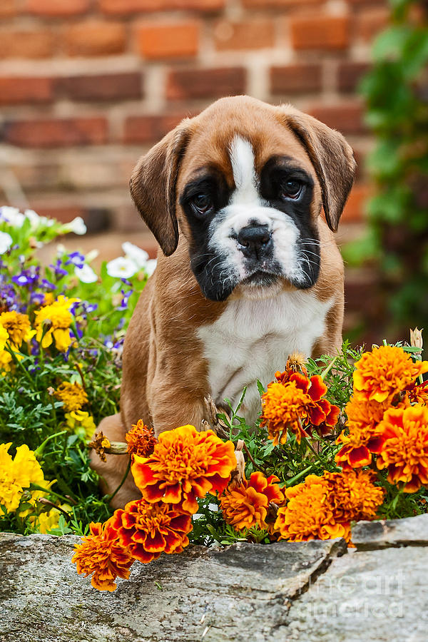 Dog Photograph - little Boxer Puppy in flowers by Doreen Zorn