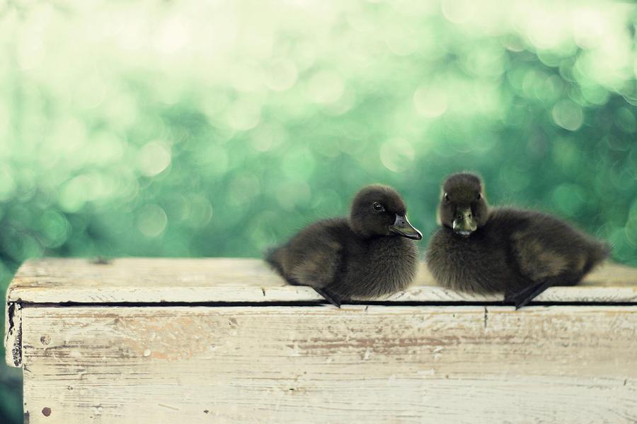 Black Ducks Photograph - Little Buddies by Amy Tyler