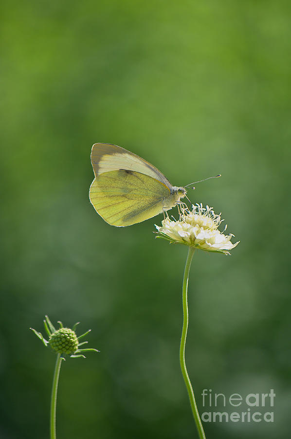 Summer Photograph - Little Butterfly by Angela Doelling AD DESIGN Photo and PhotoArt