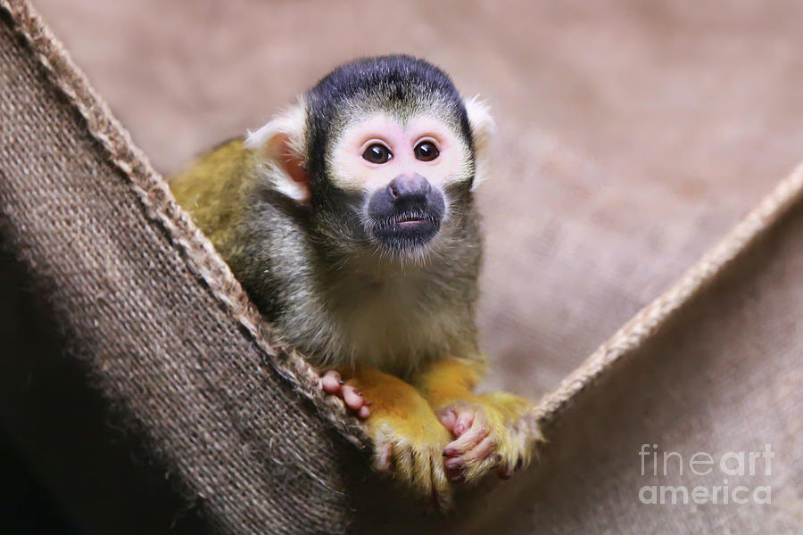 Squirrel Monkey Photograph - Little Cutie by Shannon Rogers