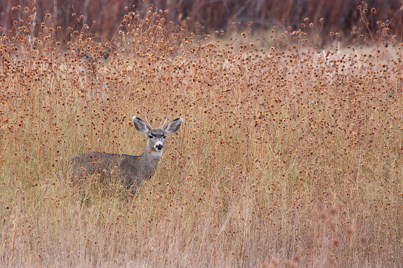 Buck Photograph - Little Deer by Ruth Jolly