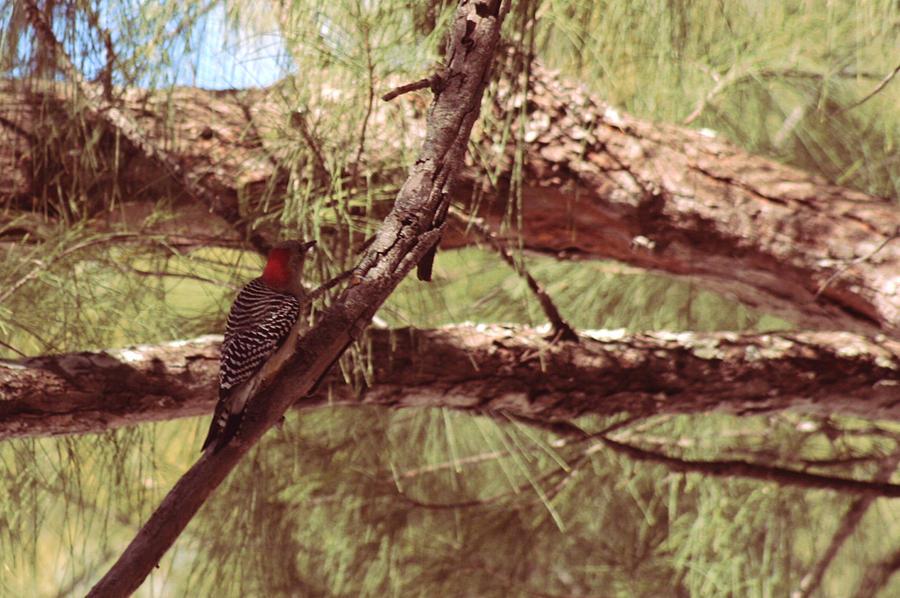 Red Bellied Woodpecker Photograph - Little Drummer Boy by Sean Green