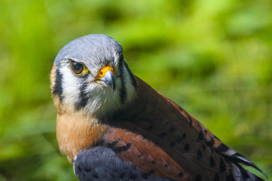 Kestrel Photograph - Little Falcon by Jill Bell