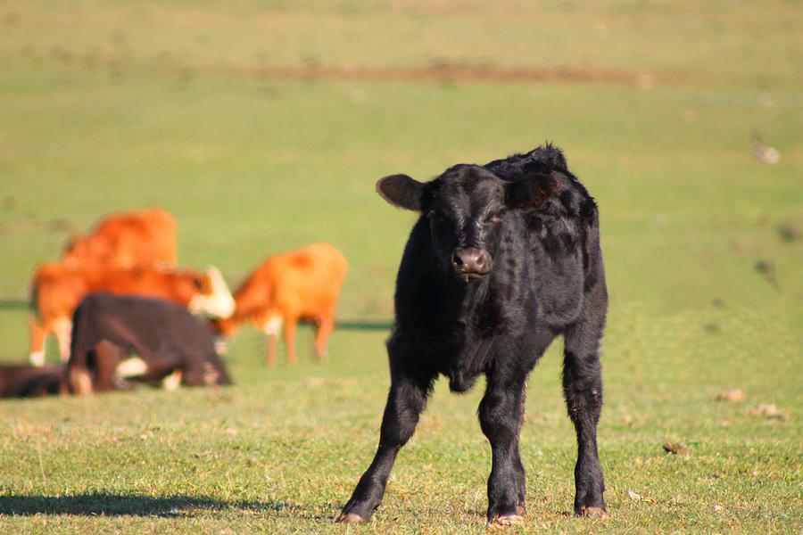 Cow Photograph - Little Fella by Rhonda Humphreys