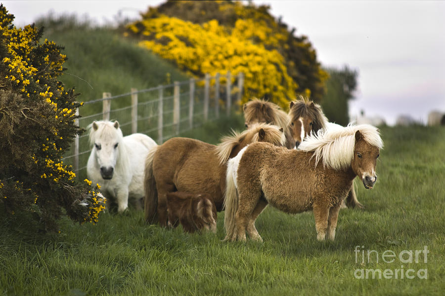 Pony Photograph - Little Fluffy Ponies by Angel  Tarantella