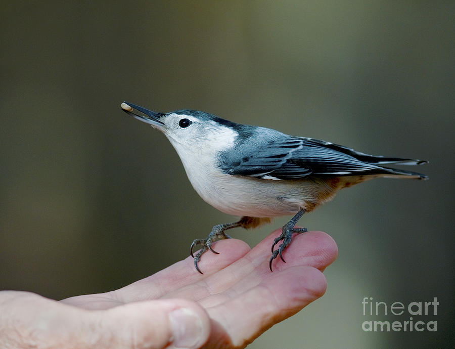 White-breasted Nuthatch Photograph - Little Food Big Trust.. by Nina Stavlund