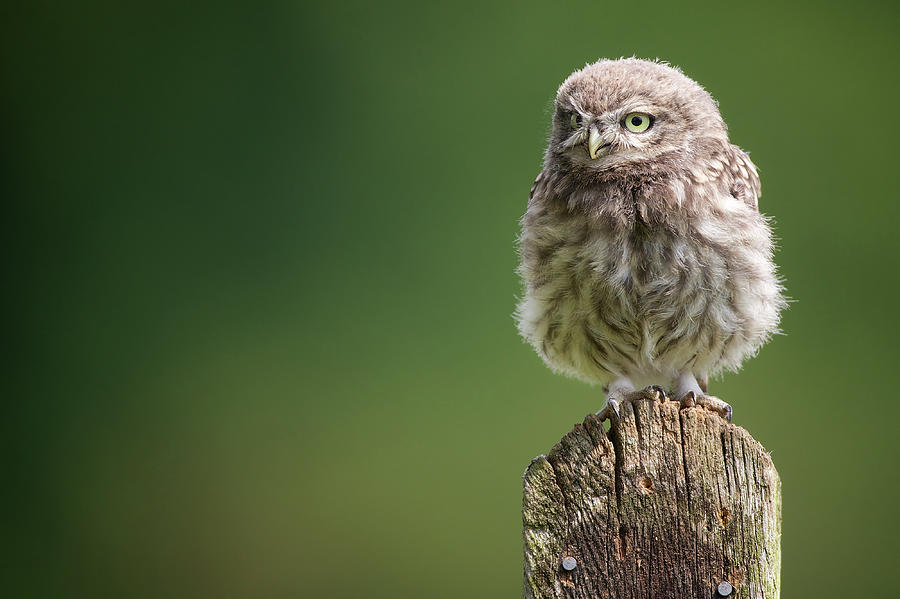Little Fuzzy Photograph by Markbridger