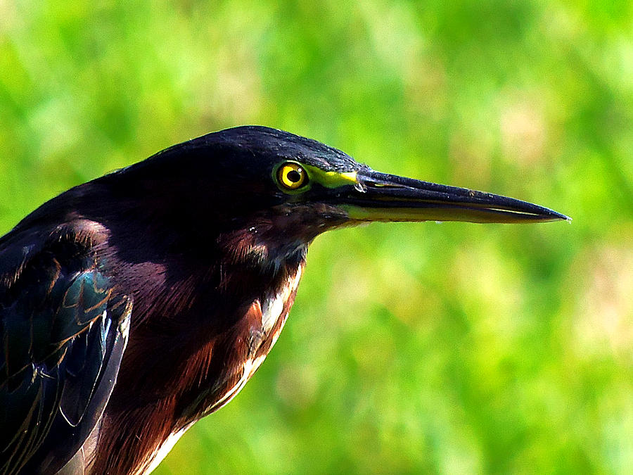 Heron Photograph - Little Green Heron 004 by Chris Mercer