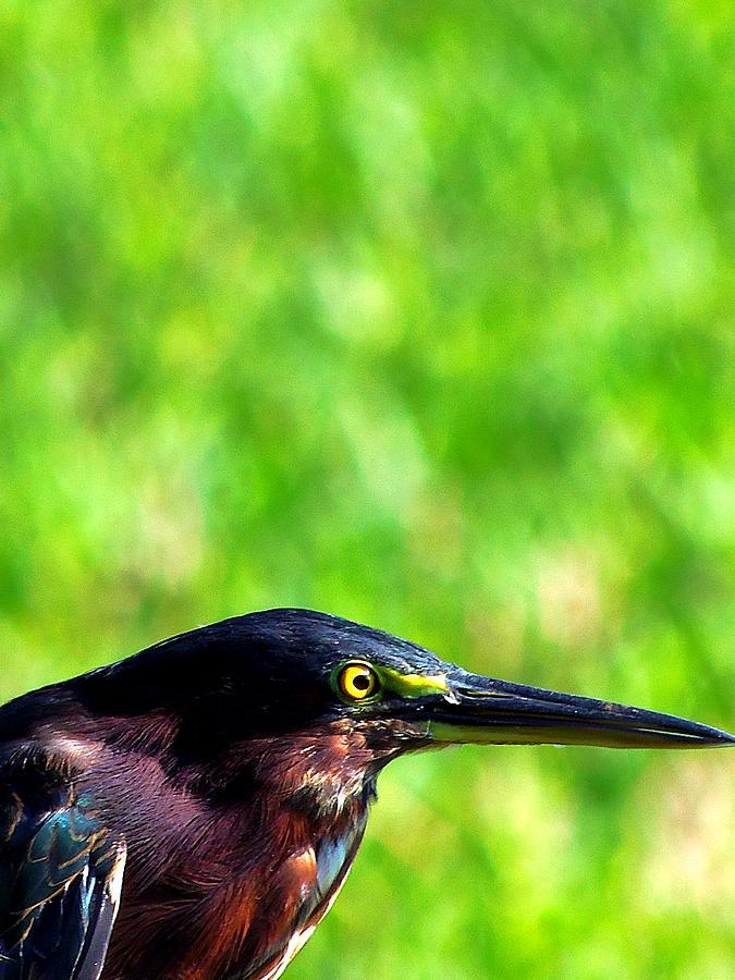 Heron Photograph - Little Green Heron 006 by Chris Mercer