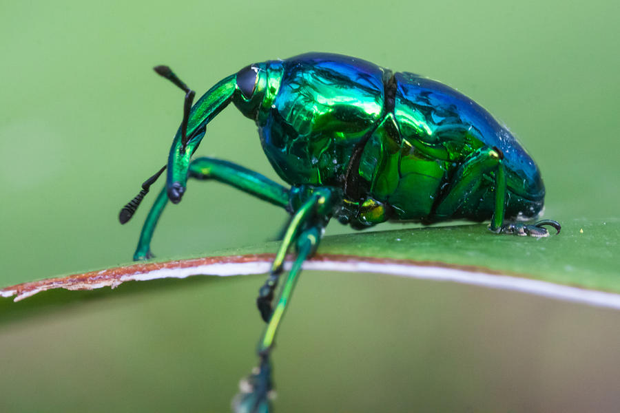 Snout Beetle Photograph - Little Green Weevil by Craig Lapsley