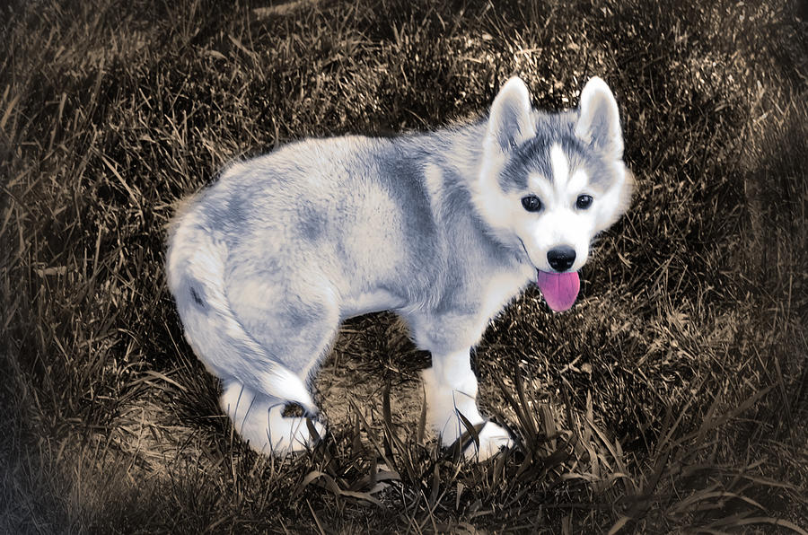 Little Photograph - Little Huskie Pup by Bill Cannon