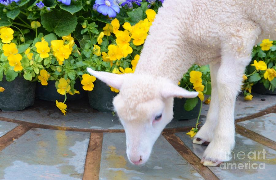 Color Photograph - Little Lamb by Kathleen Struckle