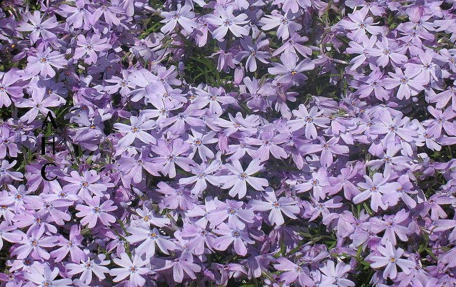 Little Lavender Lovelies by Alan Chandler