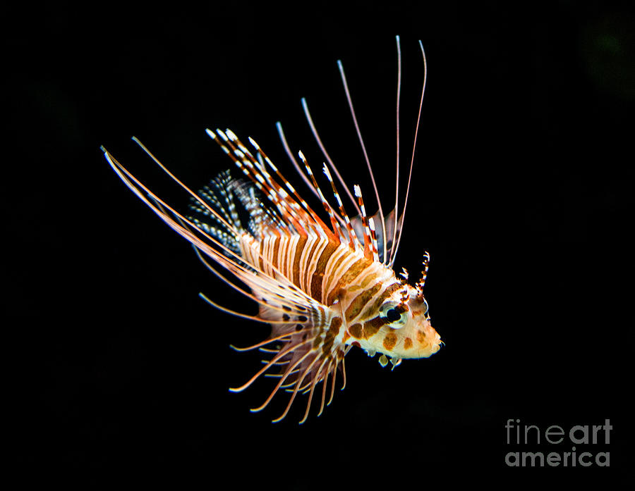 Lionfish Photograph - Little Lionfish by Jamie Pham