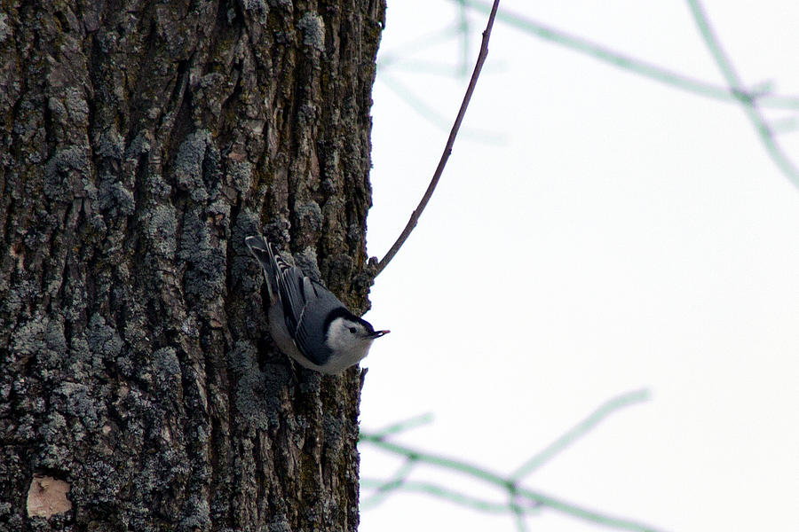 Nuthatch Photograph - Little Nuthatch by Rhonda Humphreys