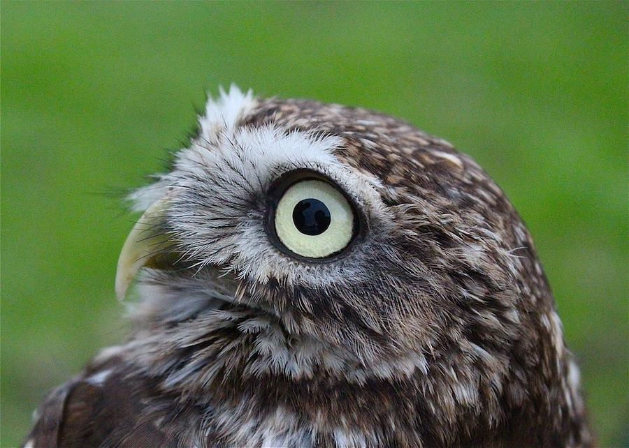Owl Photograph - Little Owl by Ed Pettitt