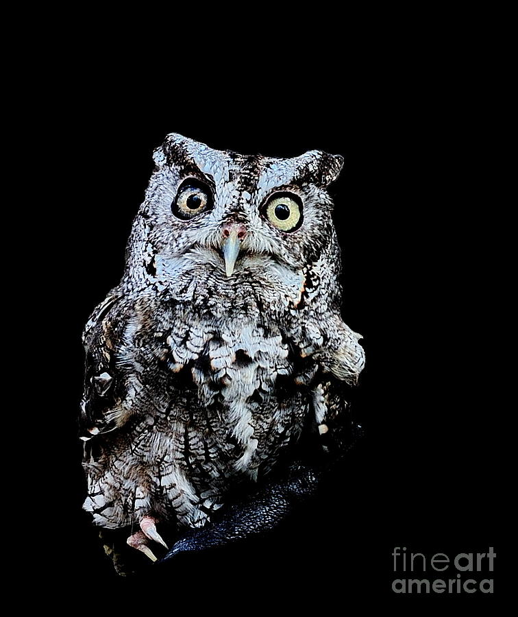 Little Owl Gray with Yellow Eyes Big by Wayne Nielsen