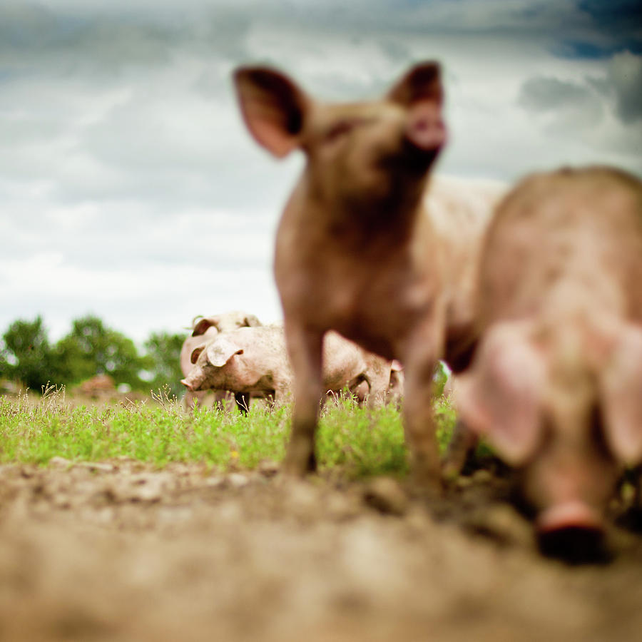 Little Pigs Photograph by Emmanuelle Brisson