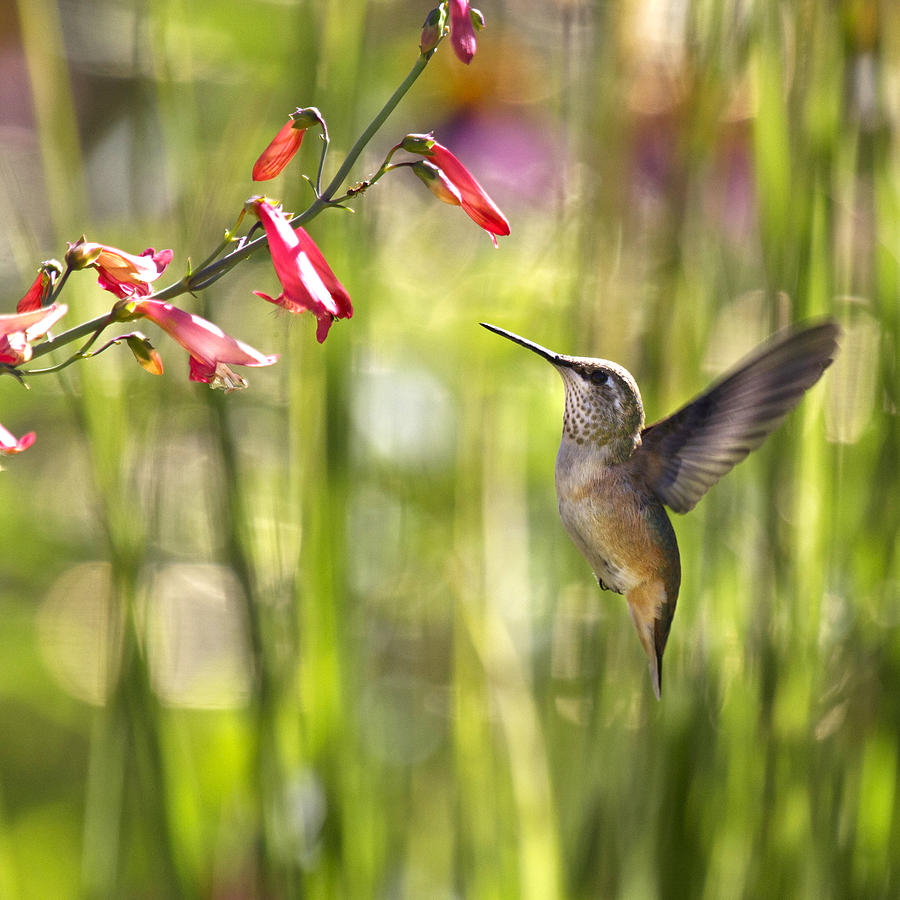 Humming Bird Photograph - Little Queenie-calliope Hummer by Dana Moyer