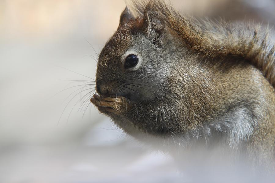 Red Squirrel Photograph - Little Red Fairydiddle by Andrea Lazar