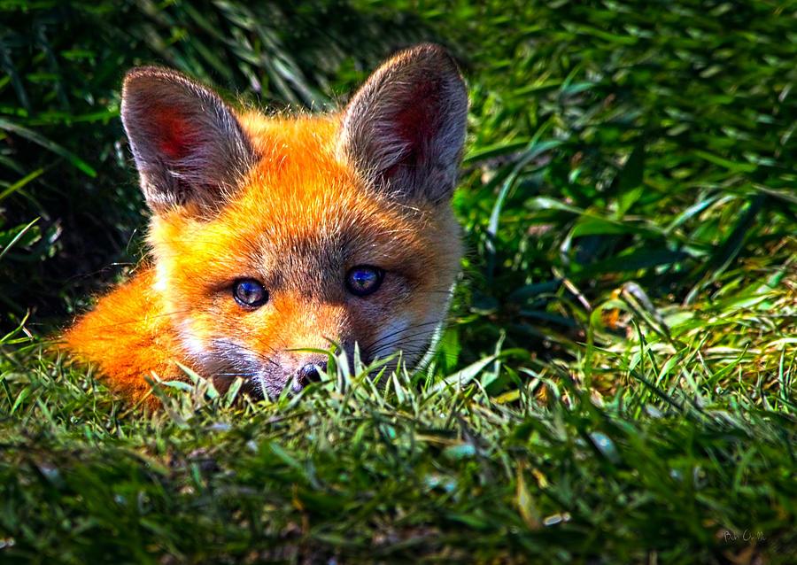 Fox Photograph - Little Red Fox by Bob Orsillo