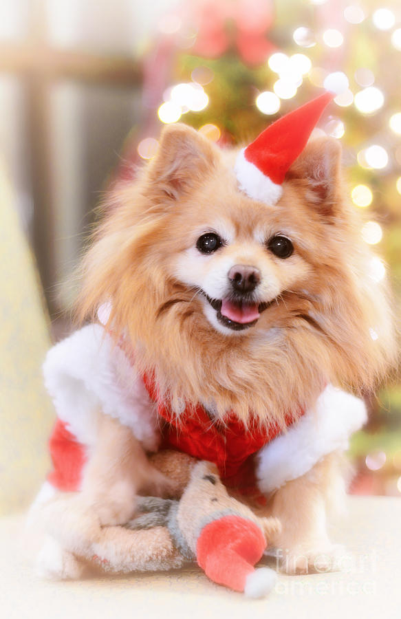 Christmas Photograph - Little Santa Claus by Charline Xia