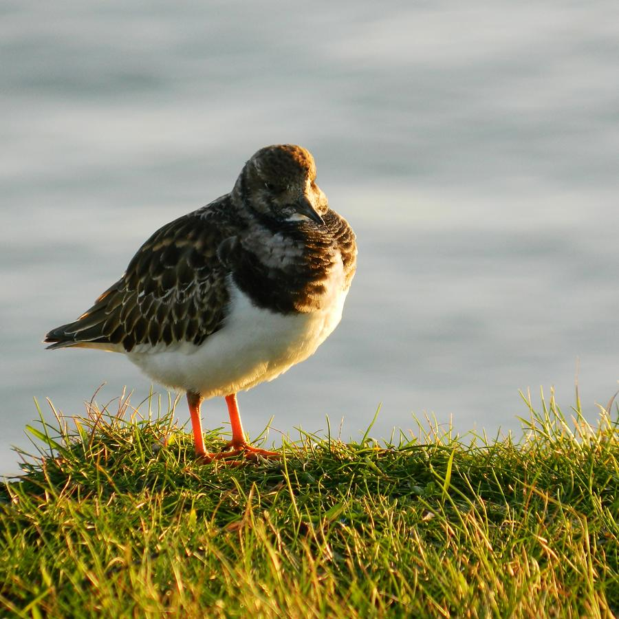 Sea Birds Photograph - Little Turnstone by Sharon Lisa Clarke