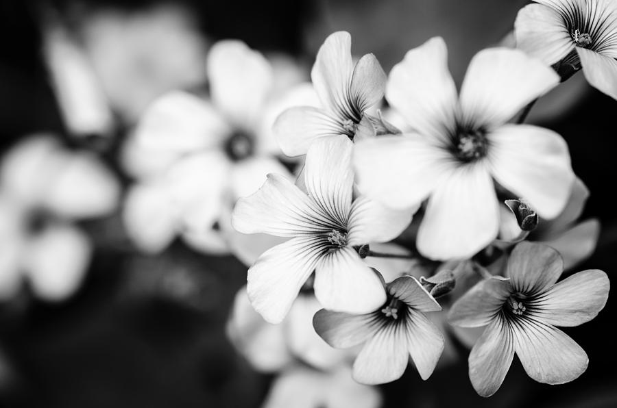 Abstract Photograph - Little White Flowers. by Slavica Koceva