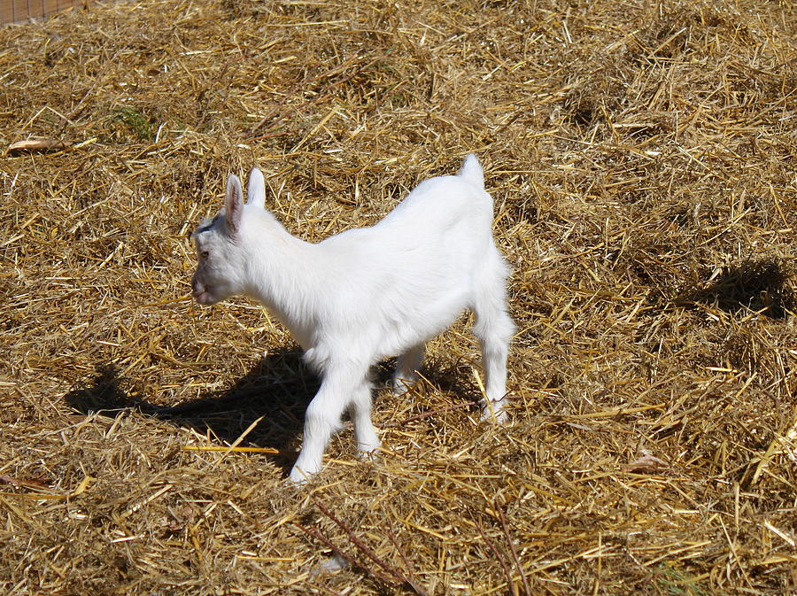 Goat Photograph - Little White Goat by Carolyn Ricks