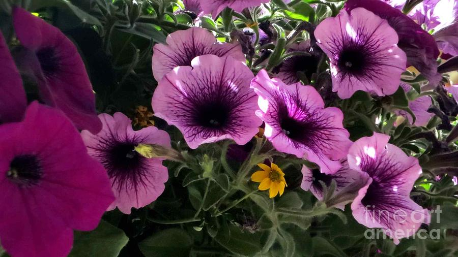 Petunias Photograph - Little Yellow Flower by Claudette Bujold-Poirier