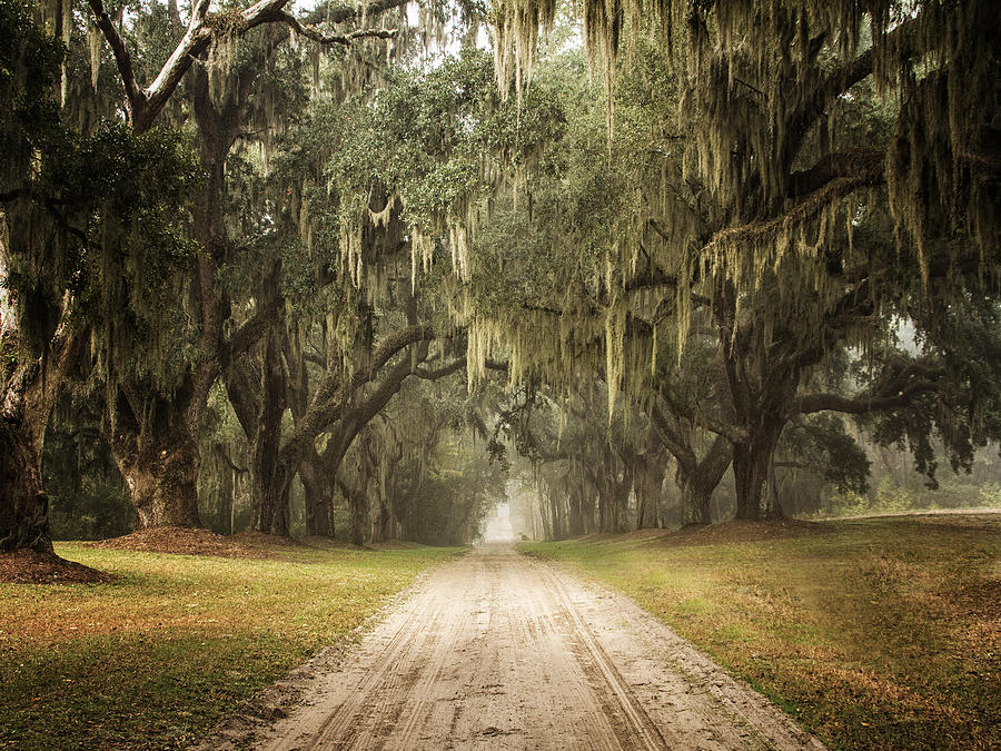 Live Oak Allee' on a Foggy Morn by Sandra Anderson