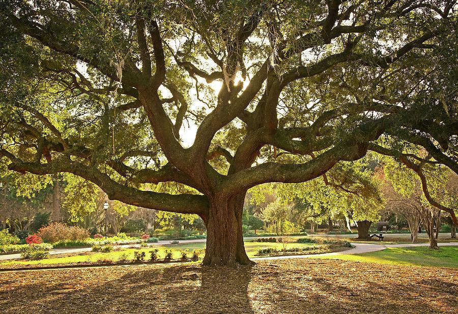 Live Oak Photograph by Daniela Duncan