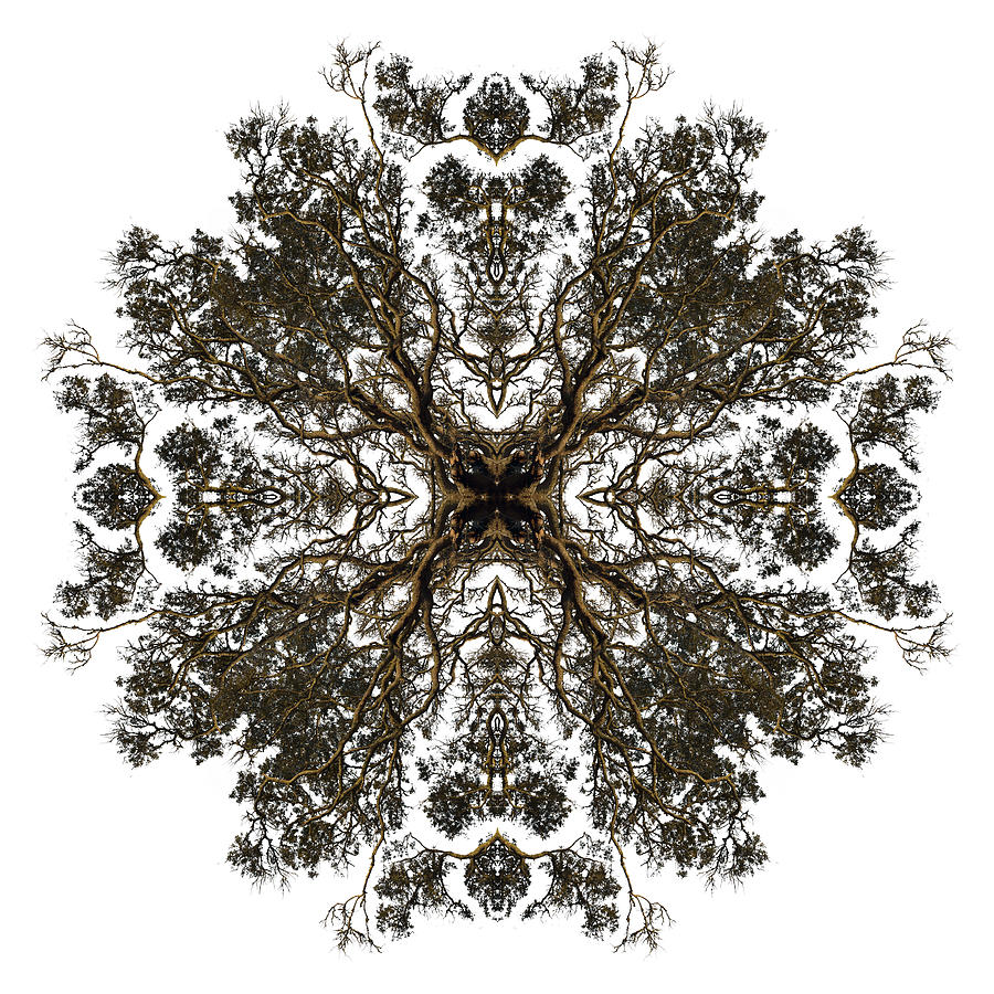 Sepia Photograph - Live Oak Lace by Debra and Dave Vanderlaan