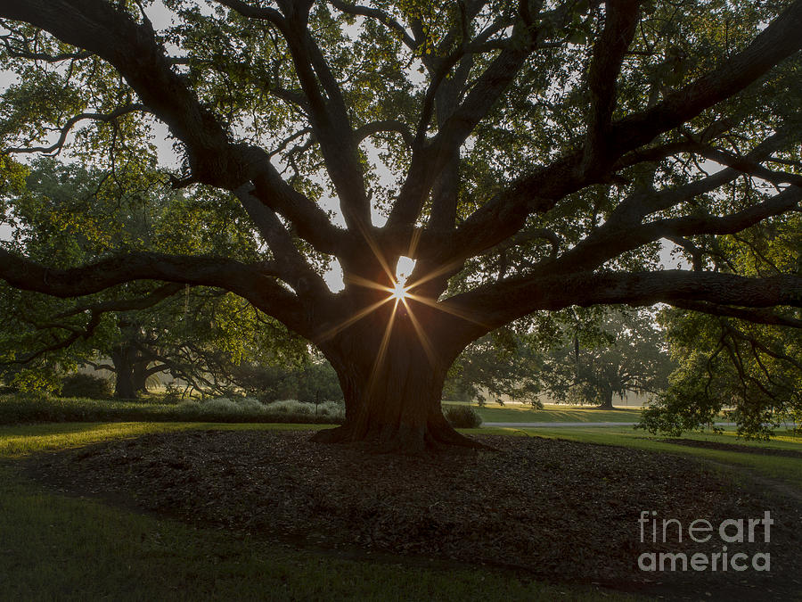 Live Oak Tree Photograph - Live Oak With Early Morning Light by Kelly Morvant
