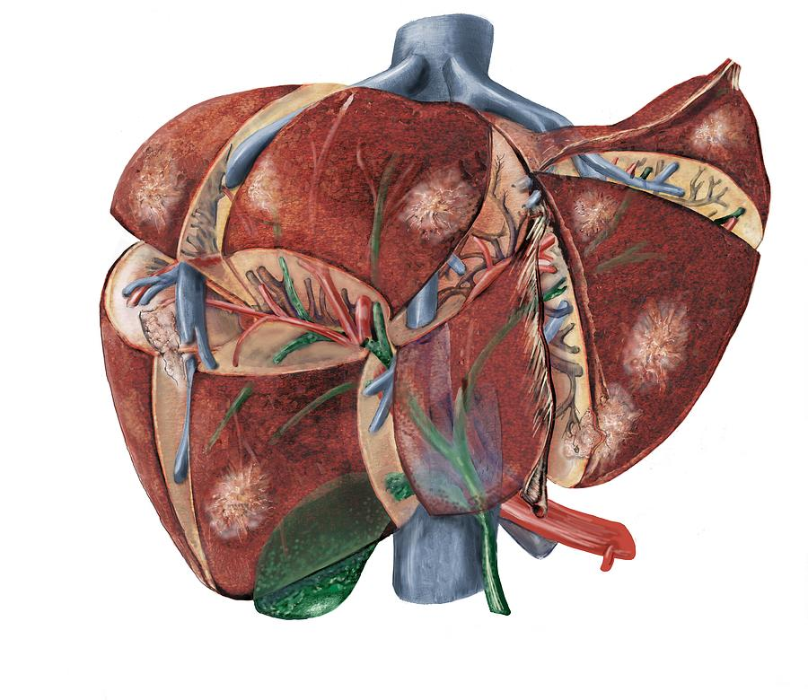 Liver Anatomy Photograph By D L Graphics Science Photo Library