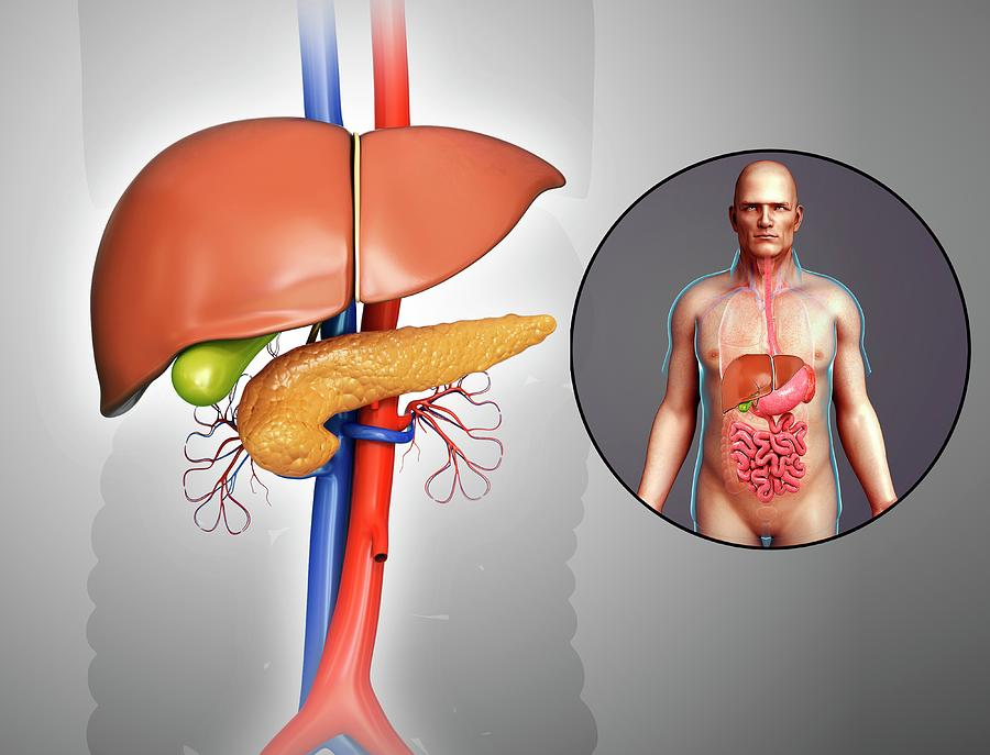 Artwork Photograph - Liver And Pancreas Anatomy by Pixologicstudio/science Photo Library